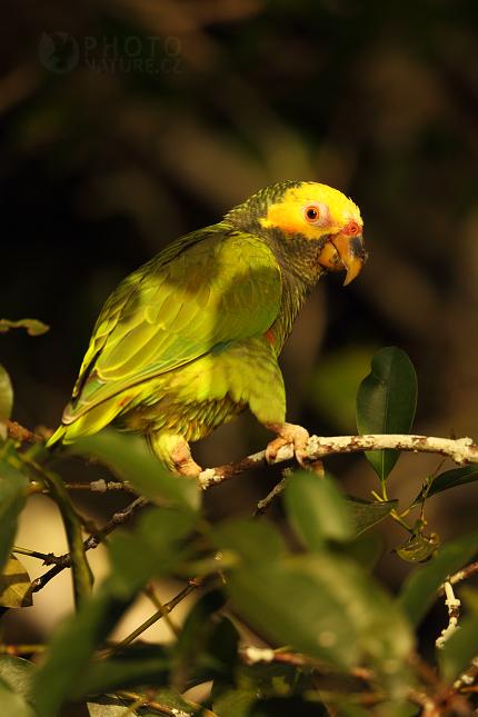 Amazoňan žlutobřichý (Amazona xanthops)