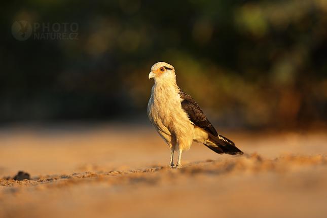 Čimango žlutavý (Milvago chimachima)