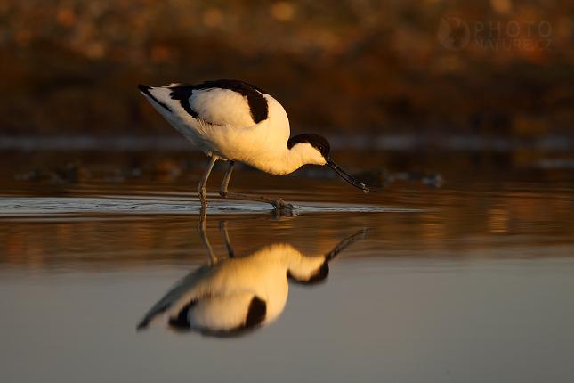 Tenkozobec opačný (Recurvirostra avosetta), Texel