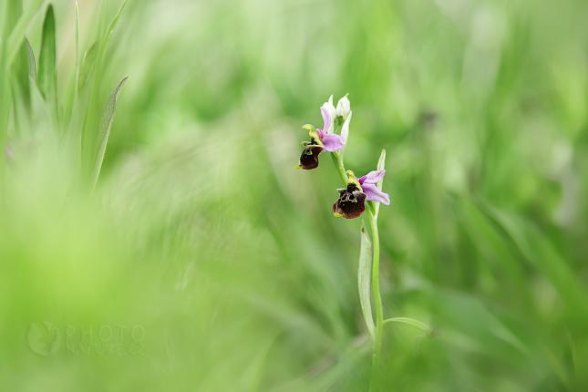 Tořič čmelákovitý Holubyho (Ophrys holoserica holubyana)