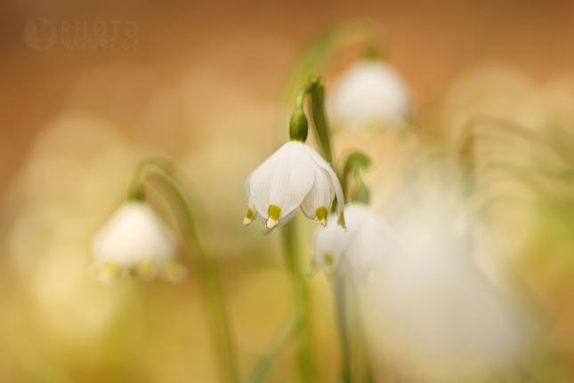 Bledule jarní (Leucojum vernum), Mcely
