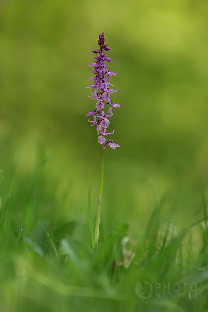 Vstavač mužský (Orchis mascula), Česko