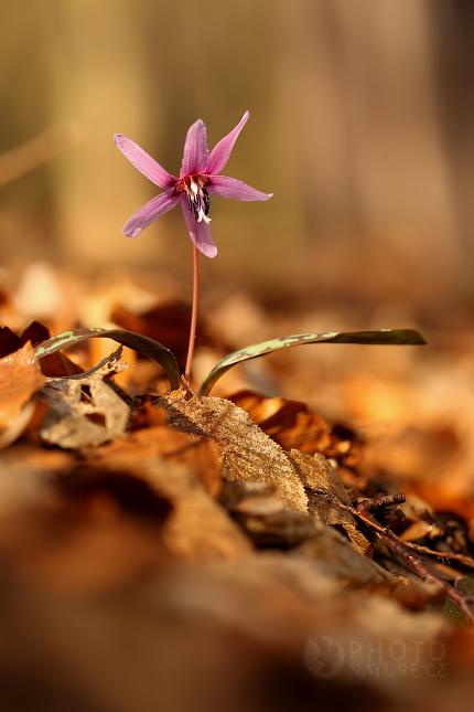 Kandík psí zub (Erythronium dens-canis), Česko