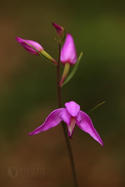 Okrotice červená (Cephalanthera rubra)