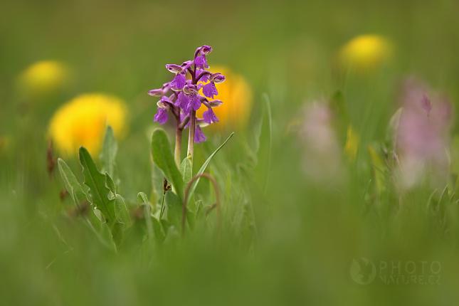 Vstavač kukačka (Orchis morio), Česko
