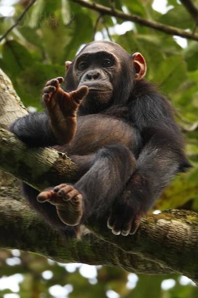 Šimpanz učenlivý (Pan troglodytes), Uganda