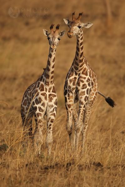Žirafa Rothschildova (Giraffa camelopardalis rothschildi), Uganda