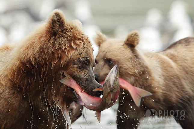 Medvěd hnědý kamčatský