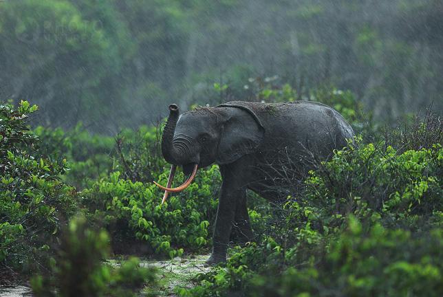 Slon pralesní (Loxodonta cyclotis)