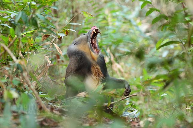 Mandril rýholící (Mandrillus sphinx)