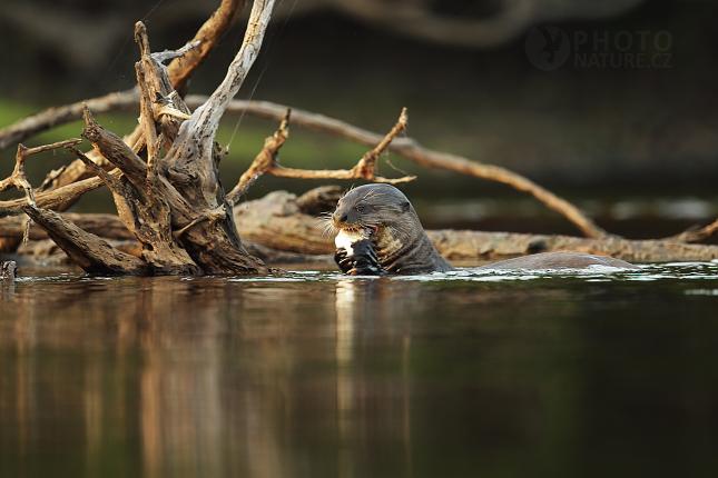 Vydra jižní (Lontra provocax)
