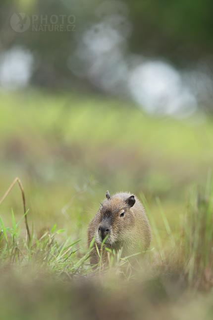 Kapybara mokřadní