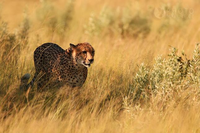 Gepard štíhlý (Acinonyx jubatus), Okawango