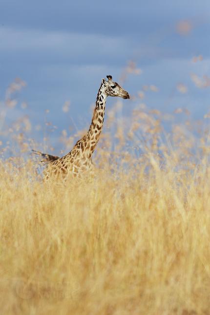 Žirafa masajská (Giraffa camelopardalis tippelskirchi)