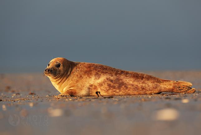 Tuleň kuželozubý, Halichoerus grypus
